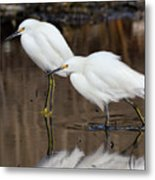 Two Snowy Egrets Metal Print