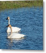 Two Swans Metal Print