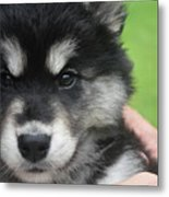 Up Close Look At The Face Of An Alusky Puppy Dog Metal Print