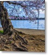 Washington Monument Cherry Blossoms Metal Print