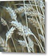 Wheats  Metal Print