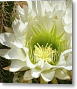 White Cactus Flower Metal Print