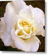 White /rose Photograph Metal Print