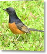 White-rumped Shama Metal Print