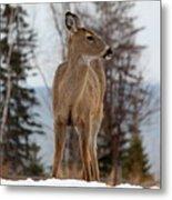 White-tailed Deer Three Metal Print