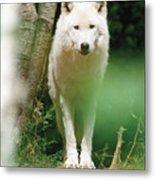 White Wolf Stare Metal Print