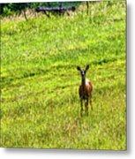 Whitetail Deer And Hay Rake Metal Print