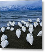 Whooper Swans In Winter Metal Print