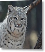 Wild Lynx Cat Metal Print