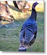 Wild Turkeys. Metal Print