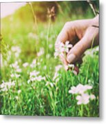 Woman Picking Up Flowers On A Meadow, Hand Close-up. Vintage Light Metal Print