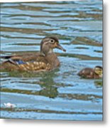 Wood Duck And Baby Metal Print