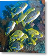 Yellow And Blue Striped Sweeltip Fish Metal Print by Mathieu Meur