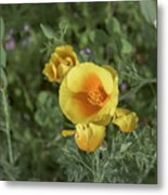 Yellow And Orange Poppy Metal Print