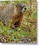 Yellow-bellied Marmot Metal Print