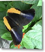 Yellow-edged Giant Owl Butterfly #6 Metal Print