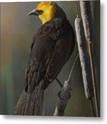 Yellow Headed Blackbird On Cattails Metal Print