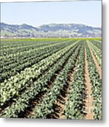 Young Broccoli Field For Seed Production Metal Print