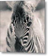 Zebra Colt In Spring Metal Print