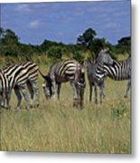 Zebra Group Metal Print