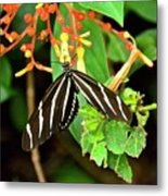 Zebra Longwing On Firebush  Metal Print