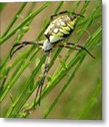 Zebra Spider Metal Print