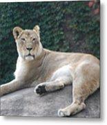Zoo Lion Metal Print