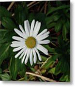 10-15-16--4996 Montauk Daisy Don't Drop The Crystal Ball Metal Print