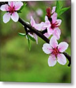 Blossoming Peach Flowers  Closeup Metal Print