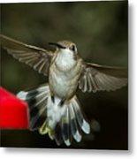 Female Ruby-throated Hummingbird Metal Print