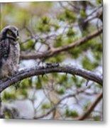 Hawk Owl Metal Print