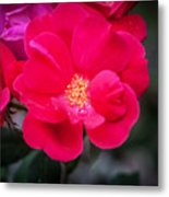 Knockout Roses Painted  Metal Print