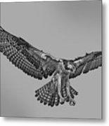Osprey Flight Metal Print