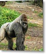 10899 Gorilla Metal Print