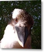 Australia - Kookaburra Looking Right At You Metal Print