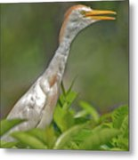11- Cattle Egret Metal Print