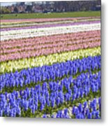 Hyacinths Fields Metal Print