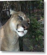 1153 - Mountain Lion Metal Print