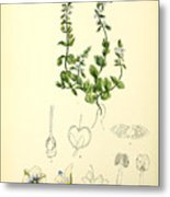 Illustrations Of The Flowering Plants And Ferns Of The Falkland Islands Metal Print