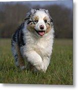 Australian Shepherd Puppy Metal Print