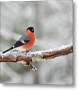 Eurasian Bullfinch In Winter Metal Print