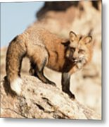 Red Tailed Fox Metal Print