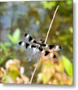 12 Spotted Skimmer Dragonfly 2 Metal Print