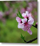Blossoming Peach Flowers  Closeup Metal Print