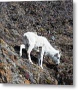 Dahl Sheep, Turnigan Arm Metal Print