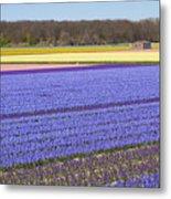 Hyacinths Fields Metal Print