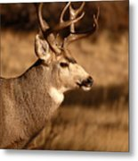 15-point Mule Deer Stepping Along Metal Print