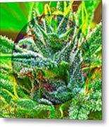 Cannabis 420 Collection Metal Print