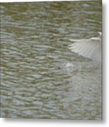 Cattle Egret Cooling Off In The Lake Metal Print