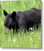 American Black Bear Yellowstone Usa Metal Print